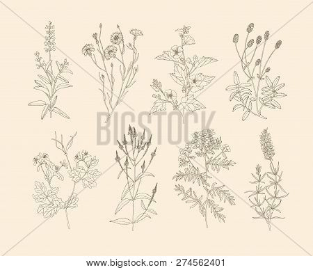 Vector Hand Drawn Collection Of Medicinal, Cosmetics Herbs And Plants. Sage Cornflower Marshmallow B