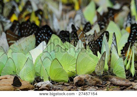 viele wilde Schmetterlinge