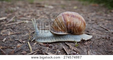 Snail With Cracked Shell Crawling Over Path