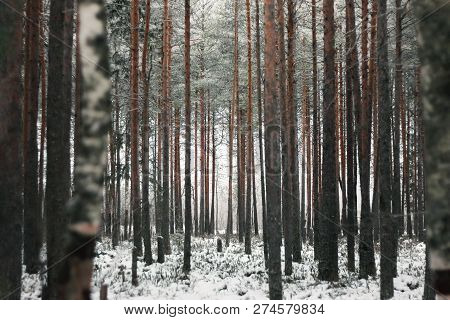 Winter Forest With Snowcapped Trees And Trunks. Beautiful Landscape Of Pine Forest In Frosty Day. Na