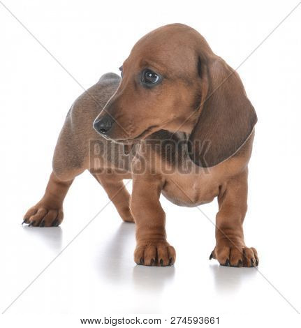 adorable female dachshund puppy on white background