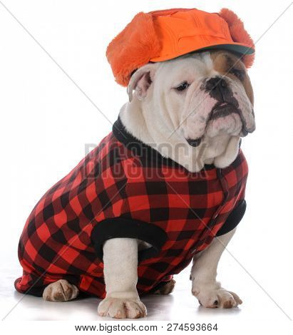 male english bulldog wearing winter hat on white background