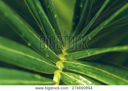 poster of Rain drops on palm leaf nature background. Nature background of palm leaves. Palm tree leaves nature background. Nature. Close up background nature of palm tree leaves. Nature background. Palm tree. Rain drops.Tropical rainforest.