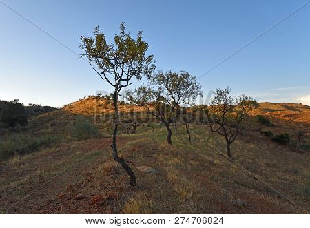 Almond Trees On Andalucia Hillside Evening Light