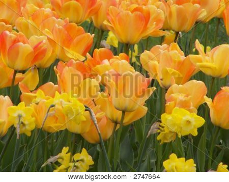 Tulips And Daffodiles.
