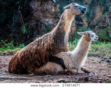 Llama Mating. Male Copulates With A Female. Copulation
