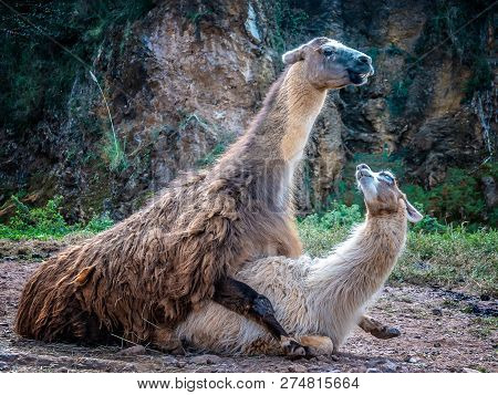 Llama Mating. Male Copulates With A Female . Copulation.