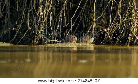 Giant Otter, Pteronura Brasiliensis, Portrait In The River Water, Rio Negro In Pantanal, Brazil.