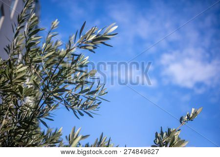 Part of olive tree with green leaves beneath blue sky with few clouds background. Space, under view of  the plant.