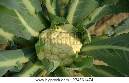 A Close Up Of Cauliflower (brassica Oleracea Var. Botrytis ) With Green Leaves Growing In A Field, F