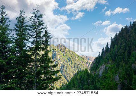 Beauty Of Fagaras Ridge. Spruce Trees On The Rocky Mountains. Wonderful Nature Of Romanian Carpathia