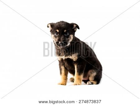 Cute german shepherd puppy isolated on white background