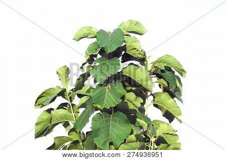 Teak Tree On White Background, Teak Tree Plant, Teak Leaves Big Branch, Bush Of Teak Stalk Leaf