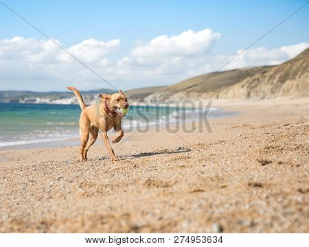 A healthy and active yellow Labrador retriever dog running along a deserted sandy beach during a game of fetch with a tennis ball in its mouth poster