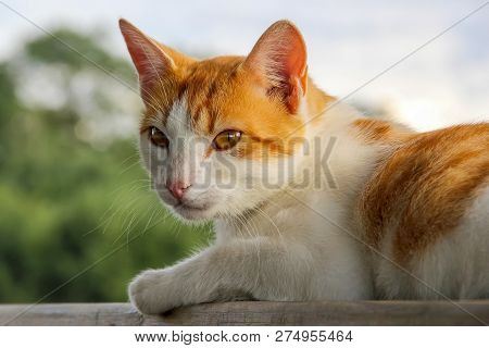 Ginger White Cat Outside Lying. Cute Red White Cat On Nature Blurred Background. White Red Cat Lying