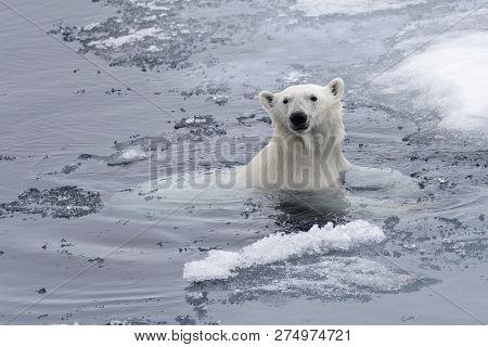 Polar Bear (ursus Maritimus) Swimming In Arctic Sea Close Up