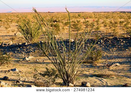 Ocotillo Cactus Surrounded By Sage Plants And The Creosote Bush Taken At A Sandy Plain In The Rural