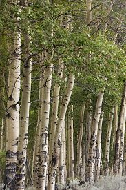 Row Of Aspens At Edge Of Wyoming Forest, Early Autumn