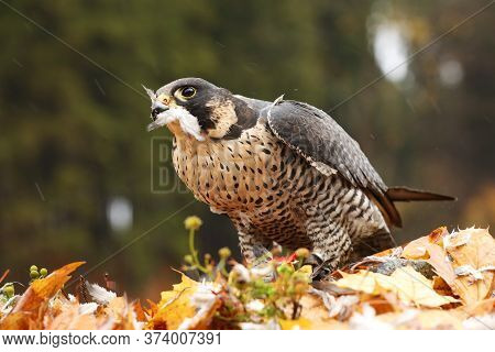 Peregrine Falcon, Falco Peregrinus, With Kill Pheasant On The Ground In The Orange Autumn Leaves, Cz