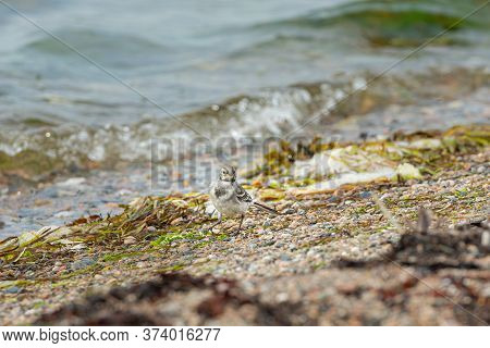 Juvenile White Wagtail, Motacilla Alba, At A Beach. It Is A Species Of Bird Passeriform Of The Famil
