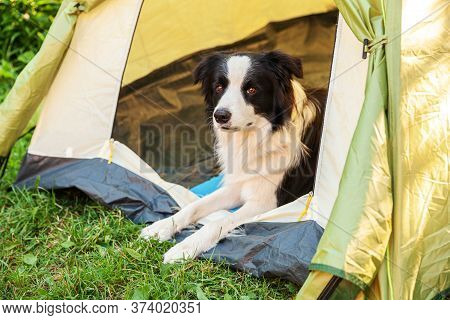 Outdoor Portrait Of Cute Funny Puppy Dog Border Collie Lying Down Inside In Camping Tent. Pet Travel
