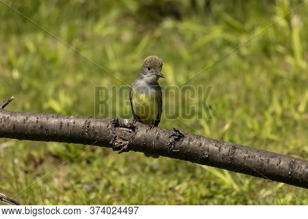 The Great Crested Flycatcher (myiarchus Crinitus) Is A Large Insect-eating Bird Of The Tyrant Flycat