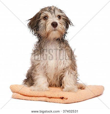Wet Chocolate Havanese Puppy After Bath