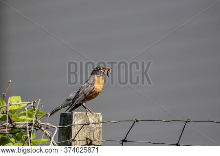 American Robin Brings Worms And Earthworms To The Young