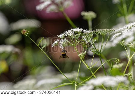 An Insect Pollinator Collects Honey. Bee On White Wildflowers On The Lawn, Macro.