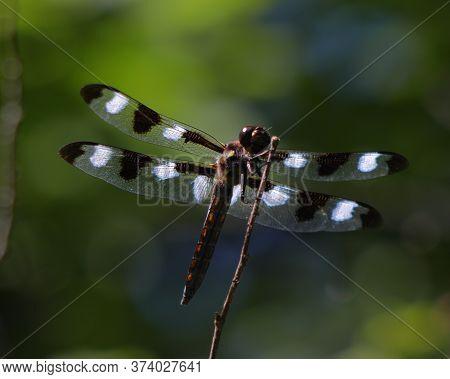 Twelve-spotted Skimmer (libellulapulchella) Resting On A Twig