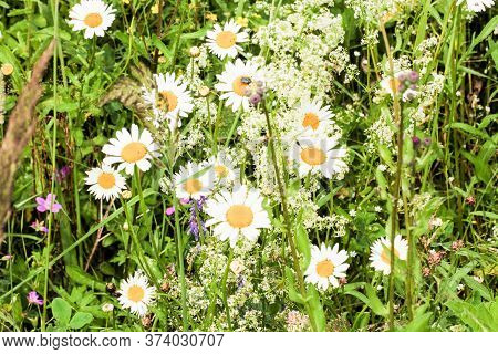 Field Daisies In The Grass. Nature And Plants In The Summer.