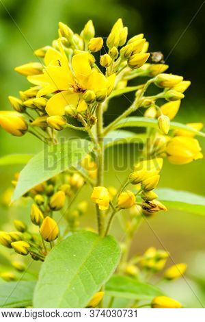 Yellow Inflorescence Of Hypericum Flowers. Nature And Plants In The Summer.