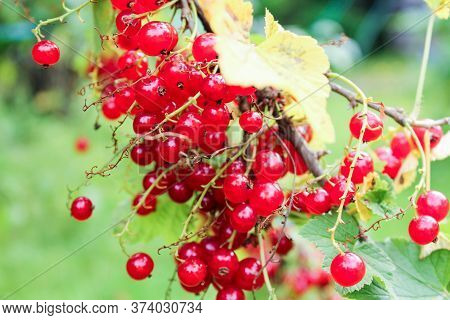 A Branch With Bunches Of Red Currants. Nature And Plants In The Summer.