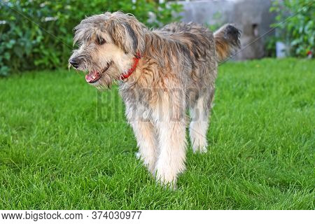 A Bearded Dog Stands In A Green Lawn. Contented Shaggy Dog In A Red Collar.