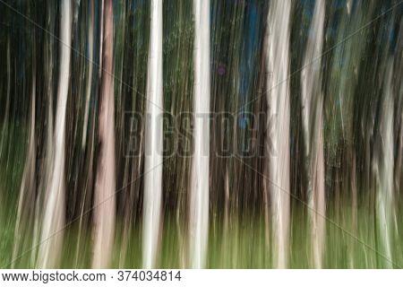 Abstract Nature, Tall Trees On Hamakua Coast, Eucalyptus Tree Plantation Forestry.