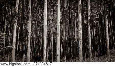 Tall Trees On Hamakua Coast, Eucalyptus Tree Plantation Forestry In Monochrome Effect