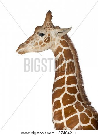Somali Giraffe, commonly known as Reticulated Giraffe, Giraffa camelopardalis reticulata, 2 and a half years old standing close up against white background