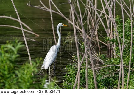 A Great White Egret In The Shallow Water Among The Bushes, Reeds, And Dead Trees Near A Lake Shoreli
