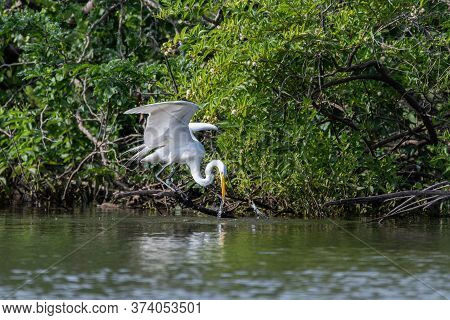 Water Trailing From The Head And Beak Of A Great White Egret As It Pulls Back After Plunging Into A