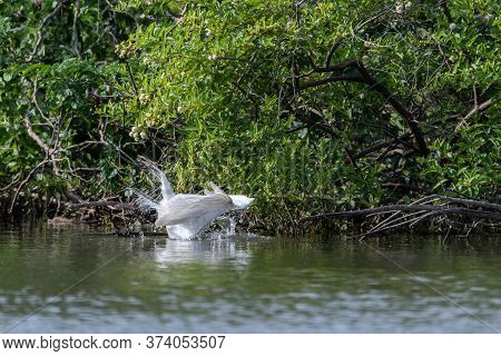 A Great White Egret With Its Head Submerged Under The Water And Its Wings Up High As It Attempts To