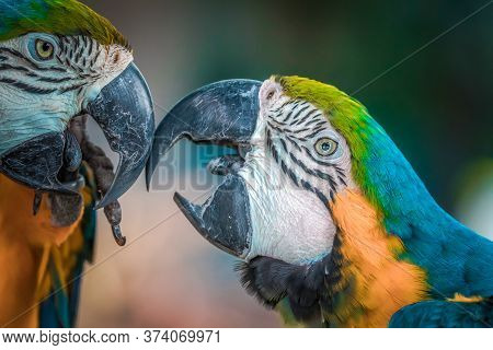 Portrait Of Two Parrots, Eyes Of Parrots, Close Up Of Parrot Full Color, Colors Of American Parrot,
