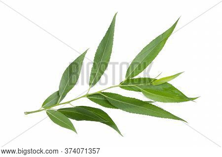 Willow Branch Isolated On White Background Without Shadow. Plant Branch For Packaging, Invitation An