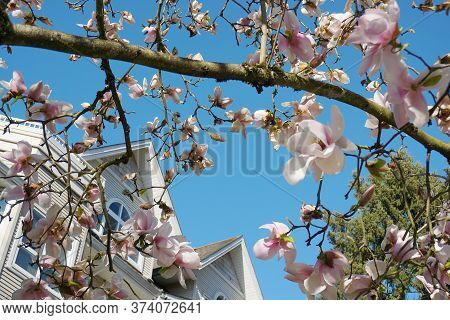 Magnolia Blossom Tree. Beautiful Magnolia Flowers Against Blue Sky Background Close Up. Japanese Mag