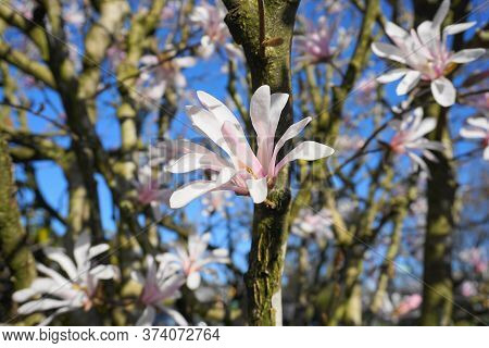 Showy And Beautiful Magnolia Stellata Pink Flowers Close Up On The  Branch Against Light Blue Backgr