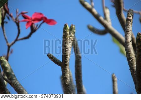 5 Red Plumeria Or Frangipani Flower On Leafless Tree Branches, Cambodia