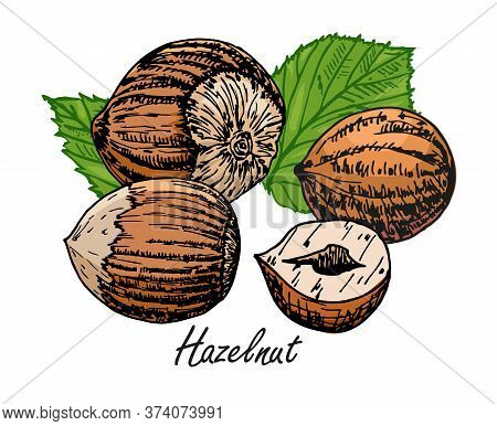 Hazelnut Hand Illustration. Set Of Hazelnuts Icons Isolated On White Background. Design Elements For