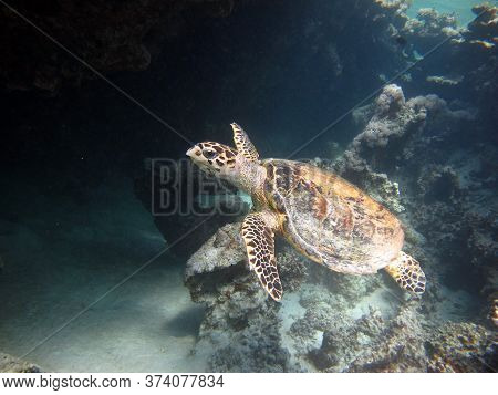Sea Turtles. Large Reef Turtle Bissa On The Reefs Of The Red Sea.
