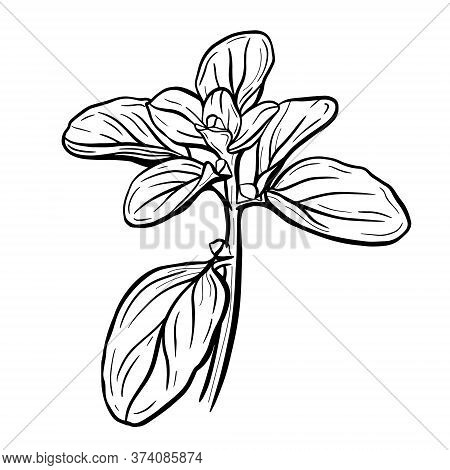 Basil Leaves Isolated On A White Background. Marjoram Is An Aromatic Seasoning. Vector Illustration