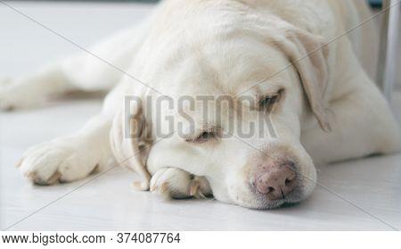 Labrador Retriever Portrait. Dog Sleeping On The Kitchen Floor
