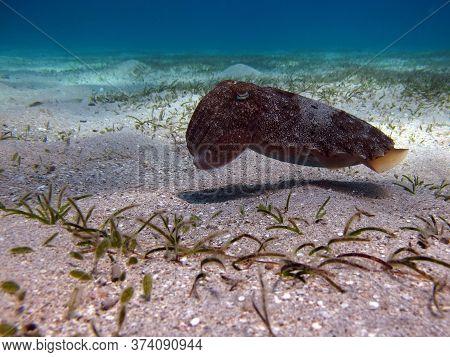 Sepia Pharaonis. Mollusks, Type Of Mollusk. Head-footed Mollusks. Cuttlefish Squad. Pharaoh Cuttlefi